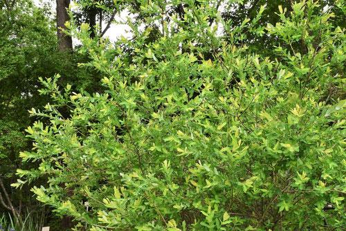 イヌコリヤナギ 樹形