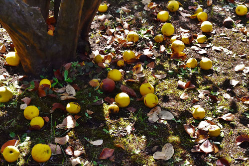 chinese quince tree,fruits