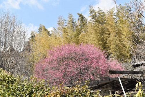 梅の花,ピンク