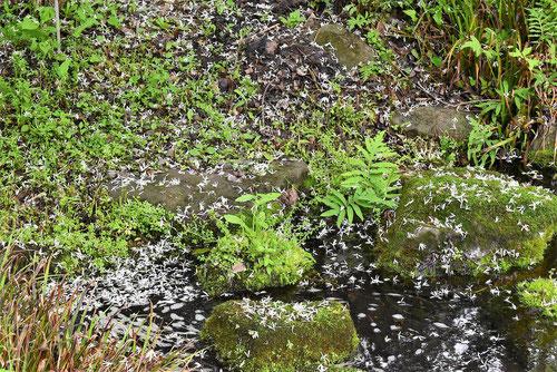 ウミテラシ 花