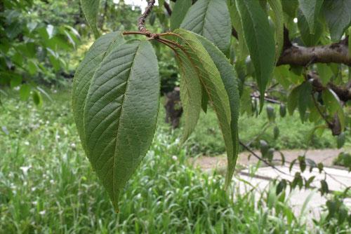 ヒマラヤザクラの葉っぱ,画像