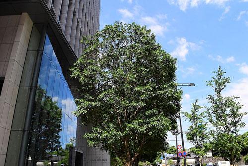 シマトネリコ 街路樹