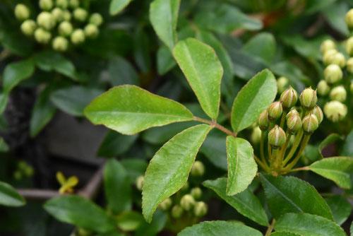 モッコウバラの葉っぱ