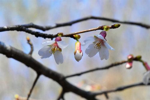 豆桜,まめざくら,特徴