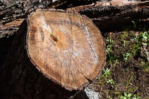 シダレヤナギ,材木