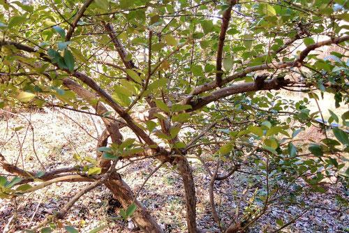 Climbing euonymus
