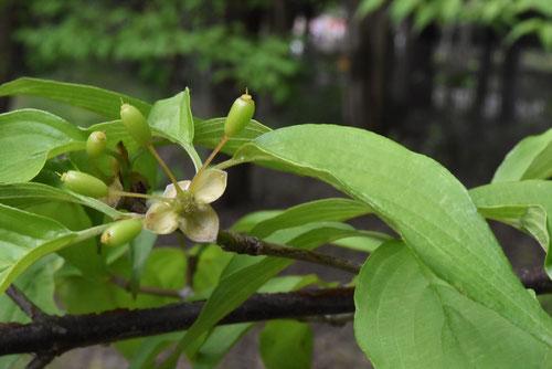 春小金花の果実