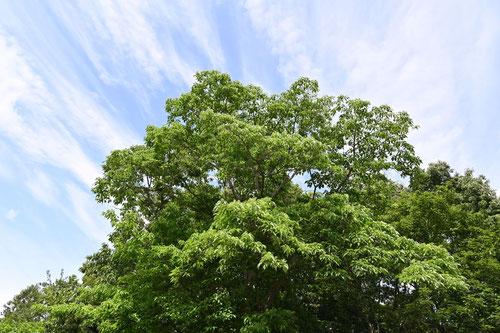 クマノミズキ,高さ,樹形