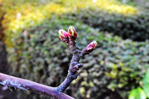 ヒメリンゴの木 特徴
