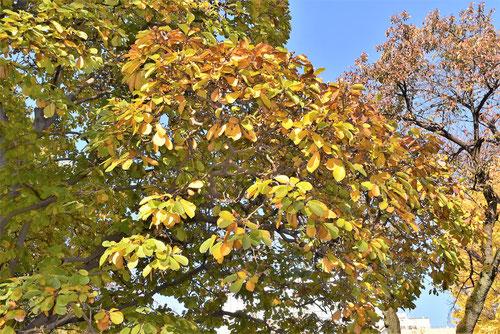 辛夷の黄葉,こぶし,画像