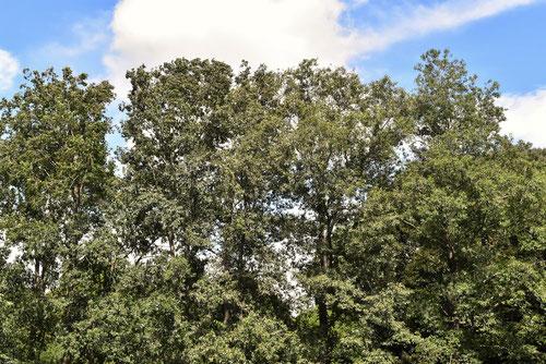トネリコの木,とねりこ,特徴