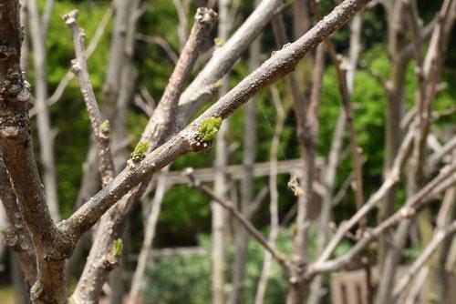 ムクゲ,むくげ,木,特徴