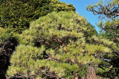 葉に模様が入るアカマツの木