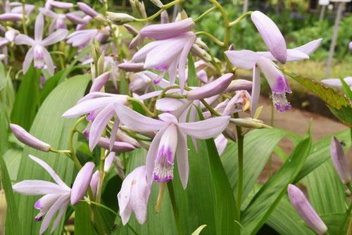 シロバナの紫蘭,植物