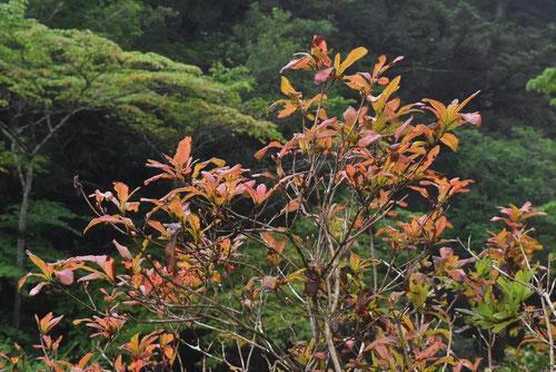 Renge-tsutsuji,Japanese azalea