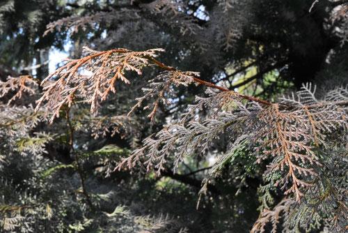 葉が茶色い 檜
