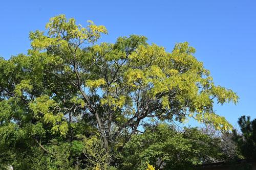 オウチ,せんだんの木,紅葉