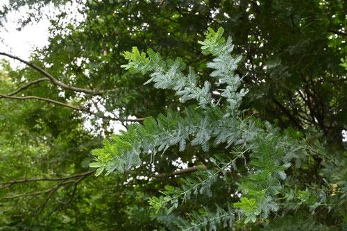 ミモザの木,画像