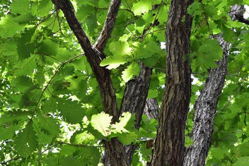 水楢 樹木 画像