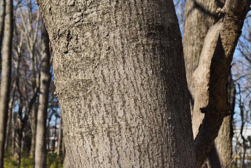 茶 目薬の木 成分