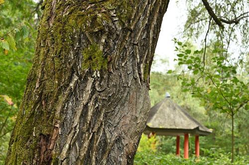 枝垂れ柳の幹