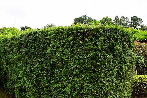 ヒノキの垣根 画像