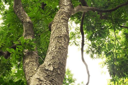 Soapberry tree,trunk