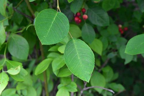ジューンベリーの葉っぱ,じゅんべり,画像