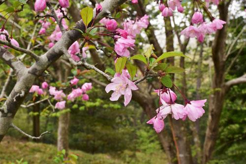 ハナカイドウ 花の時期