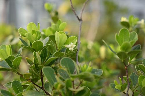 小葉,品種
