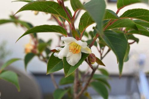 開花時期 ヒメシャラ