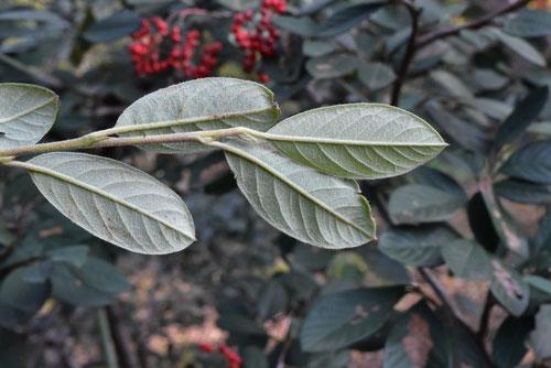 ベニシタン,植木
