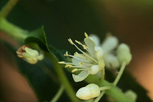 リョウブの花,開花時期,りょうぶ