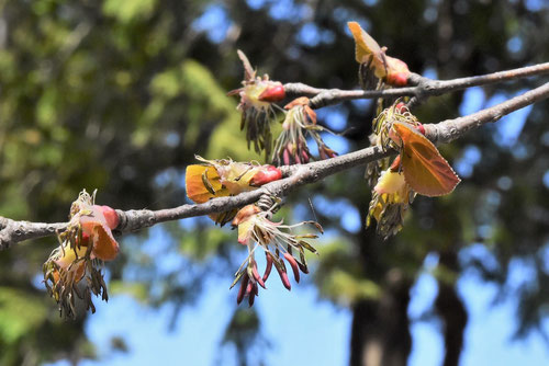 桂の花 画像