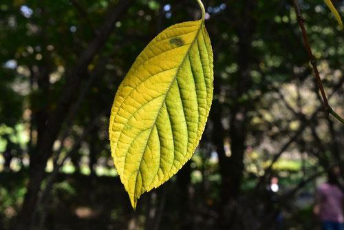 ノリウツギの黄葉