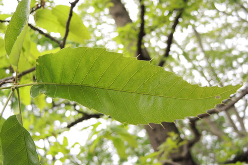 クヌギの木の葉