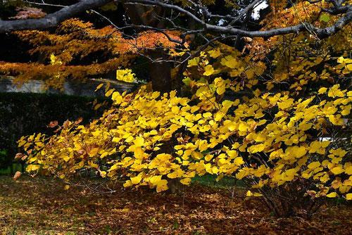 ダンコウバイ 紅葉 黄葉 画像