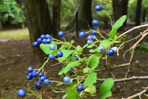 サワフタギ 青い実
