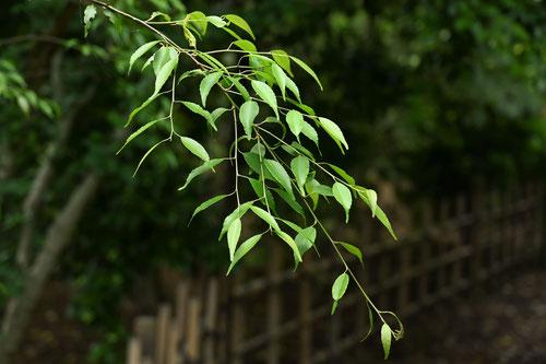 ハイノキ,植木