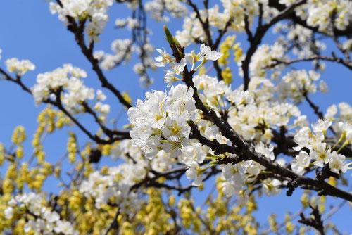スモモの花 画像 開花時期