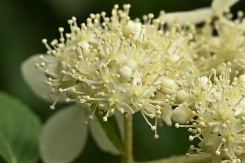 ノリウツギの木の花