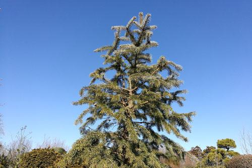 プンゲンストウヒ,樹形