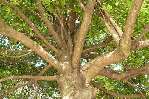tarayou tree
