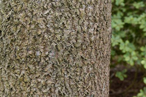 トチノキの樹皮