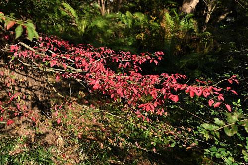 ニシキギ 紅葉
