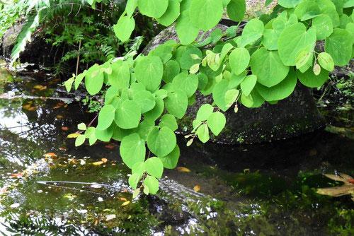 桂の木,葉,写真