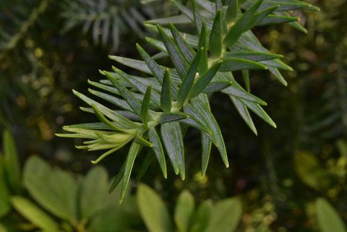 パラナパインの葉