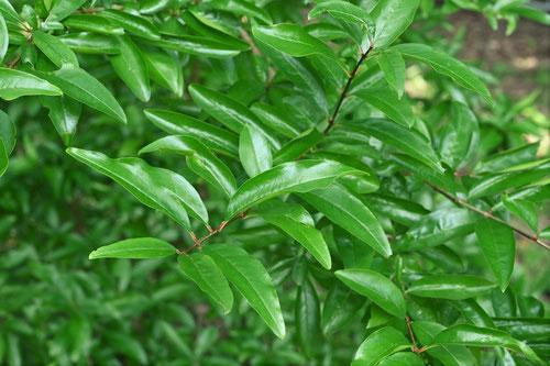 柘榴,木の葉,ざくろ
