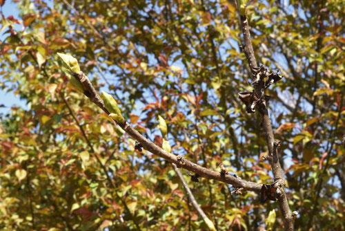 マメガキの木の芽