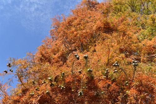 らくうしょうの木,紅葉